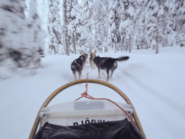 Husky sledging through the trees