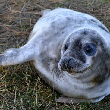 Grey Seal Pups at Donna Nook