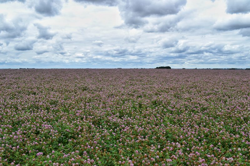 Farm Walk at Vine House Farm, Lincolnshire - Red Clover