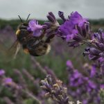 Bees at Mayfields Lavender Farm, Surrey - Splodz Blogz