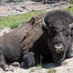 Bison in Yellowstone National Park - Splodz Blogz