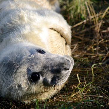 Donna Nook 2016 – An Excuse to Share Cute Seal Pup Photos