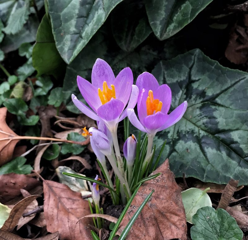 Crocus, Lincoln, Splodz Blogz