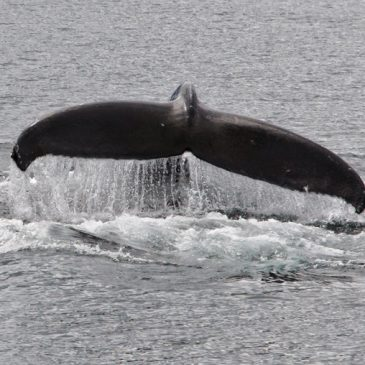 WHALE WATCHING WITH EAGLE WING TOURS, VICTORIA