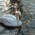 Splodz Blogz | Bird Spotting in the UK | Swan