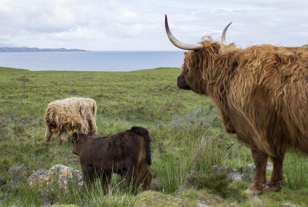 Splodz Blogz | NC500 | Highland Cow