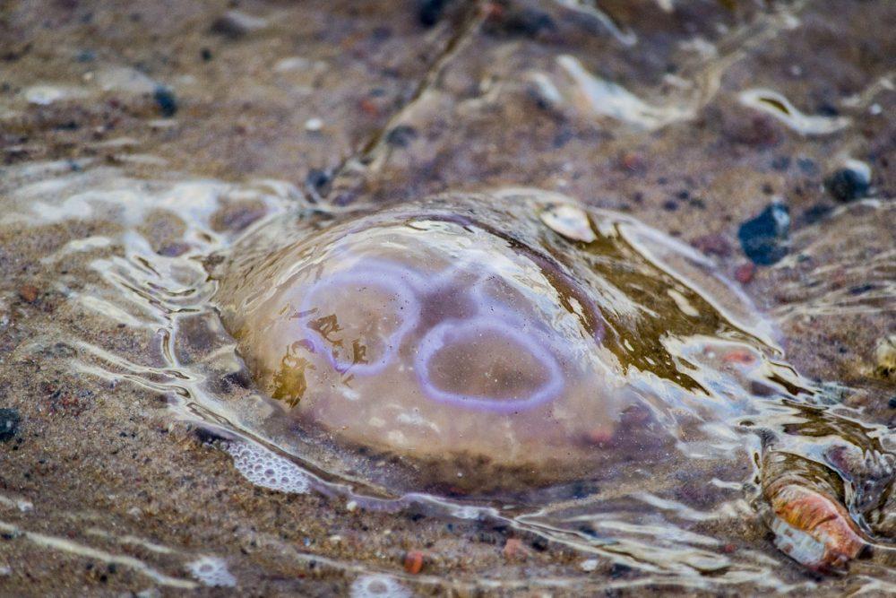 Splodz Blogz | NC500 | Jelly Fish